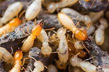 Mesa-AZ-termite-control