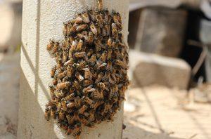 Bee Control Bee Removal In Arizona Chandler Gilbert